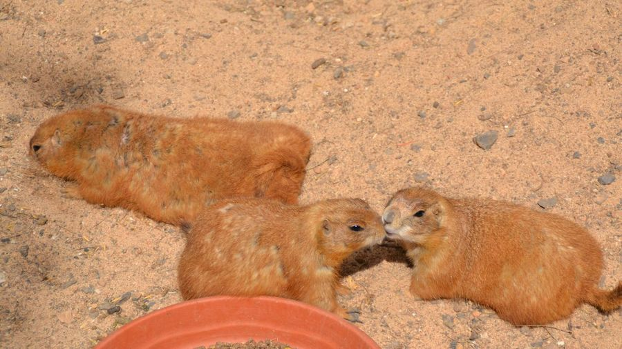 Sand Animal Themes No People Nature Outdoors Day Zoo Beauty In Nature Hamster Posing Hamsters Hamster Cute Cute Animals Close-up Nature Kissing Hamster Kissing Love Funny FUNNY ANIMALS Funny Pics Funny Face Funny Anımals