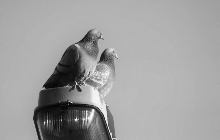 TwoDove Lamp Sky Black & White Black And White Blackandwhite Love Doves Dove Love Doves, Birds Bird Copy Space Animal Themes Perching Low Angle View Animals In The Wild Animal Wildlife No People Outdoors Nature