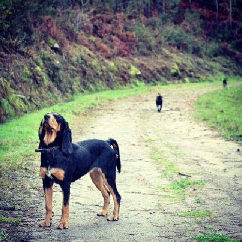 Dog Walking Dogs My Dog Galicia Hound