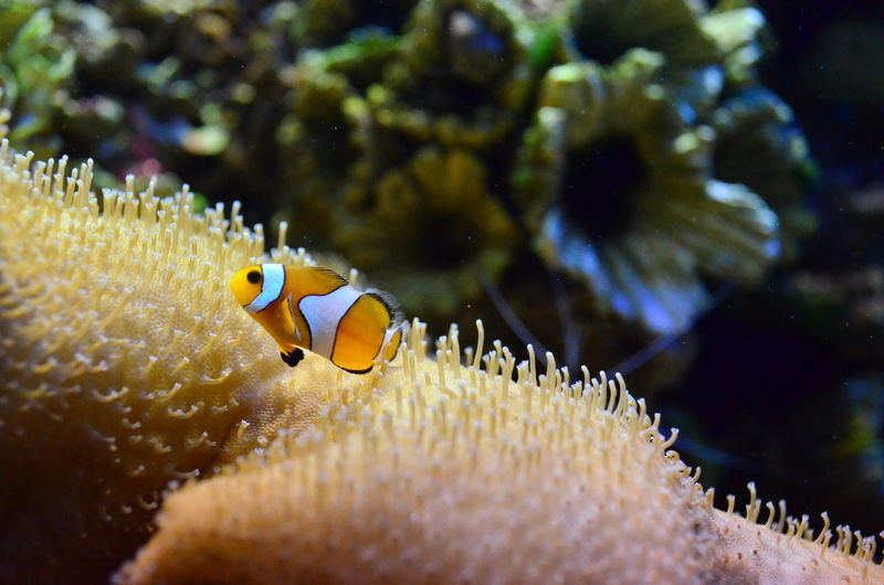 Close-up of clown fishes moving on coral