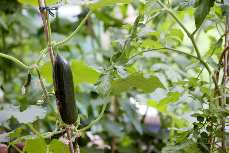 cucumber Cucumber Cucumber Plant Day Food And Drink Growth Nature No People Outdoors