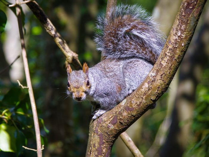 Grey Squirrel Trees WoodLand Greay Nature_collection Nature Beauty In Nature Squirrel Reptile Tree Portrait Camouflage Close-up Animal Eye Animal Skin