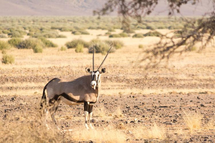 Gemsbok walking on field