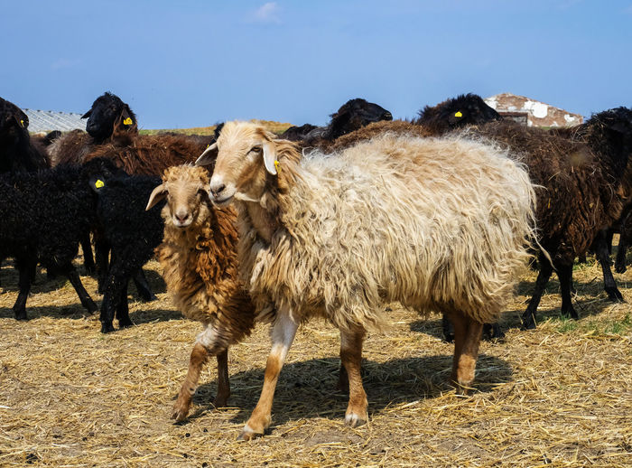 Sheep Mammal Animal Domestic Animals Animal Themes Livestock Domestic Vertebrate Pets Group Of Animals Land Field Nature Animal Hair Day Standing Sky Sunlight No People Herbivorous Landscape Outdoors