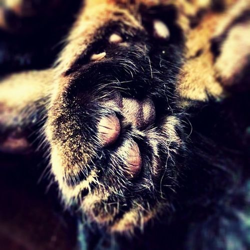 Is anything more gorgeous than jellybean toes! 🐱🐾😻💋 Gorgeous Paws Grumble Grumblepie Tabby TabbyCat Tabbiesofig Tabbiesofinstagram Caturday Catgirl Crazycatgirl Crazycatlady Catlady Jellybeantoes Cameraplus Catsofig Catsofinstagram Kissable Pads