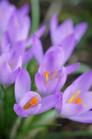 Close-up of purple crocus flowers in park