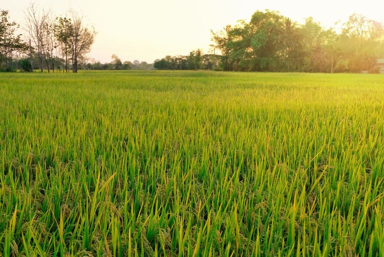 Rice fields beautiful in countryside Paddy Field Rice Paddy Rice Plants Green Nature Countryside Background Sun Light Tree Rice Paddy Irrigation Equipment Rural Scene Agriculture Field Farm Young Plant Farmland Greenery