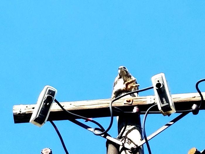 Bird Of Prey Bird Photography Galaxy 7 Urban Wildlife Cowboy's Rule The 49's Nature Photography Bird On Post Hawk Check This Out Bird Feeding Bird And Prey