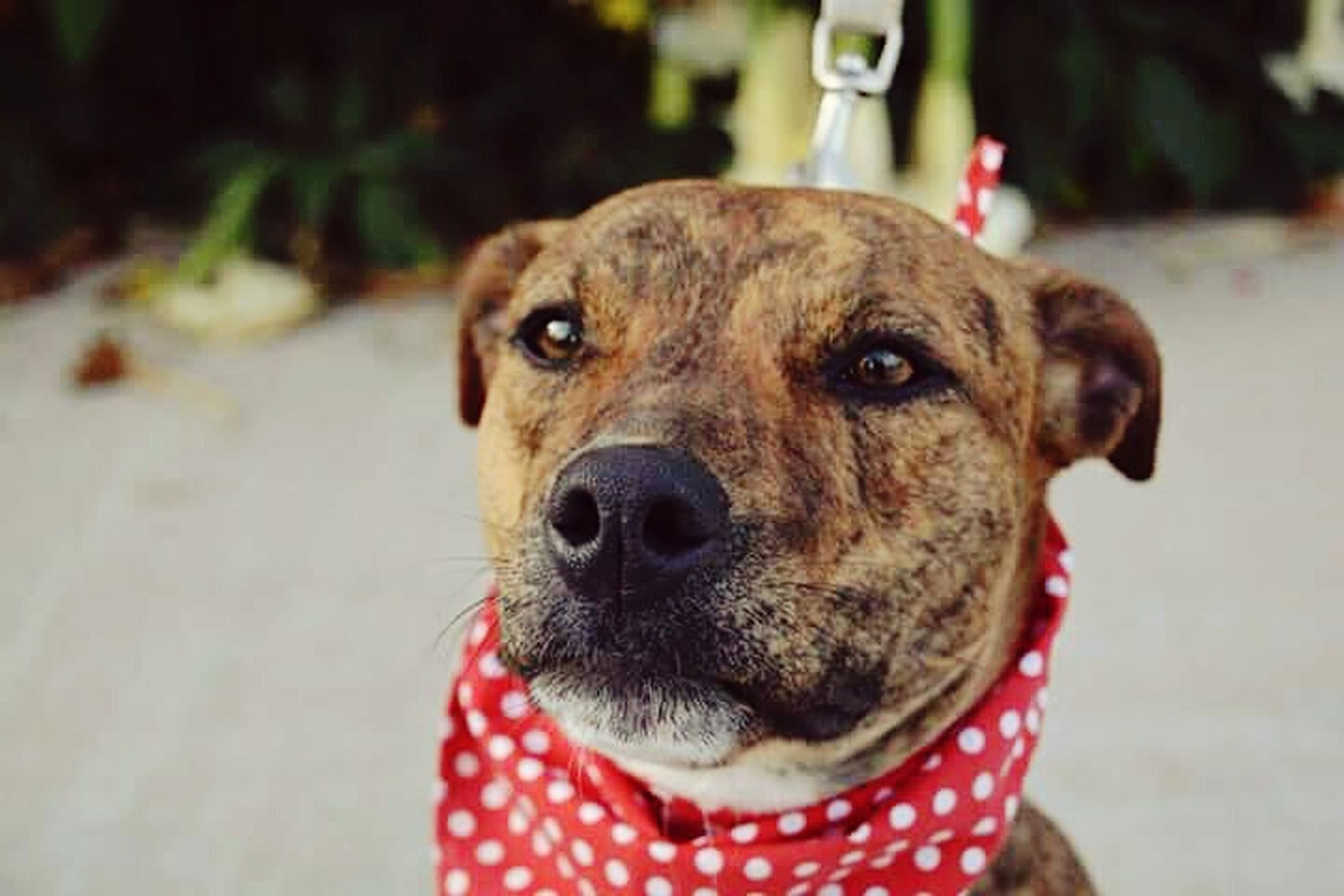 dog, pets, one animal, animal themes, domestic animals, mammal, close-up, animal head, focus on foreground, portrait, looking at camera, snout, animal body part, front view, no people, pet collar, day, outdoors, animal tongue