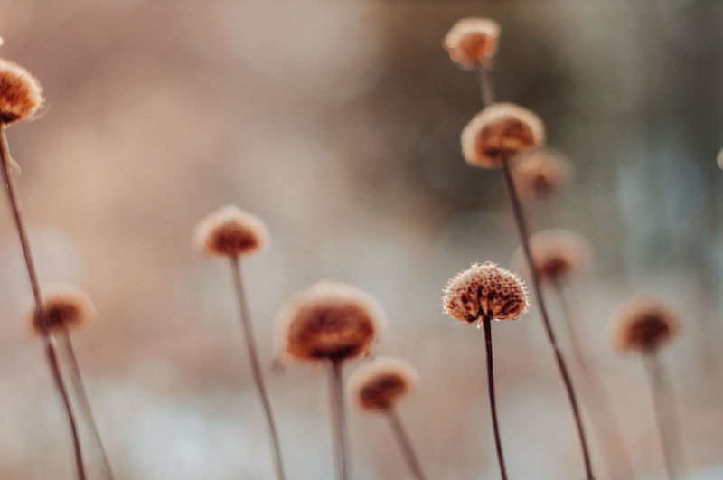 Flower Selective Focus Close-up Beauty In Nature Plant Plant Stem No People Flowering Plant Focus On Foreground Nature Vulnerability  Fragility Growth Brown Outdoors Tranquility Freshness Softness Blossom Dead Plant