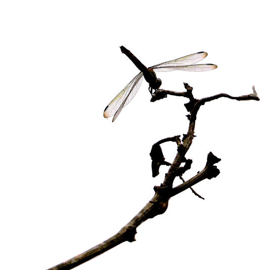 A dragonfly. Dragonfly Nature Insects Animal Animal Themes Animal Wildlife Animals In The Wild Bare Tree Branch Clear Sky Close-up Copy Space Day Dragonfly Photograohy Invertebrate Low Angle View Nature No People One Animal Outdoors Plant Sky Tree Twig