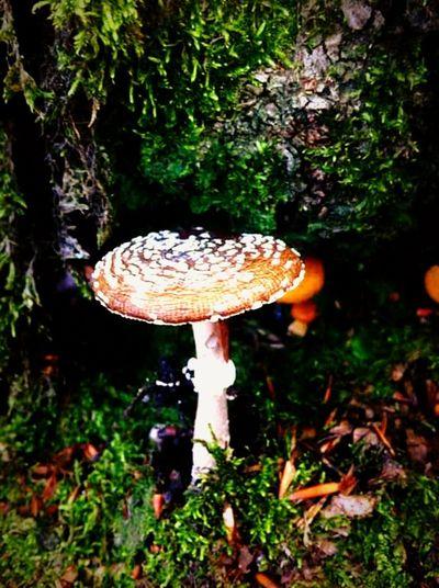 Amanita Psychedelic Nature Wood Appennino Wild
