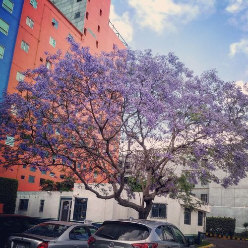 Jacaranda Cloud - Sky Sky Architecture Tree Building Exterior Flower Cityscape Built Structure Nature TijuanaMakesMeHappy My Favorite Tree Tijuanalife City Outdoors No People Day Mexico