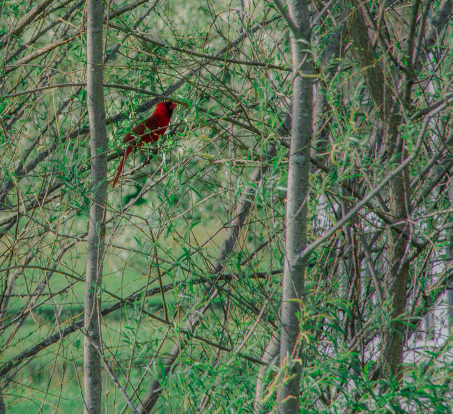 Animal Animal Themes Animal Wildlife Animals In The Wild Bird Branch Cardinal - Bird Day Forest Land Nature No People One Animal Outdoors Perching Plant Red Selective Focus Tree Vertebrate The Great Outdoors - 2018 EyeEm Awards