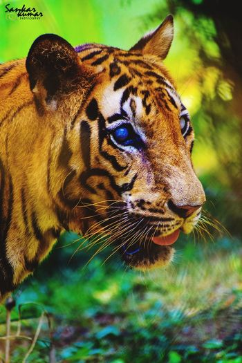 Animals In The Wild One Animal Animal Wildlife Nature Animal Themes Day Close-up Water No People Portrait Mammal Tiger Outdoors