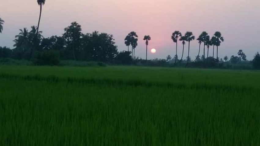 Tree Sunset Field Nature Green Color Grass Landscape Agriculture Outdoors Beauty In Nature Rural Scene No People Rice Paddy Sky Day Scenics
