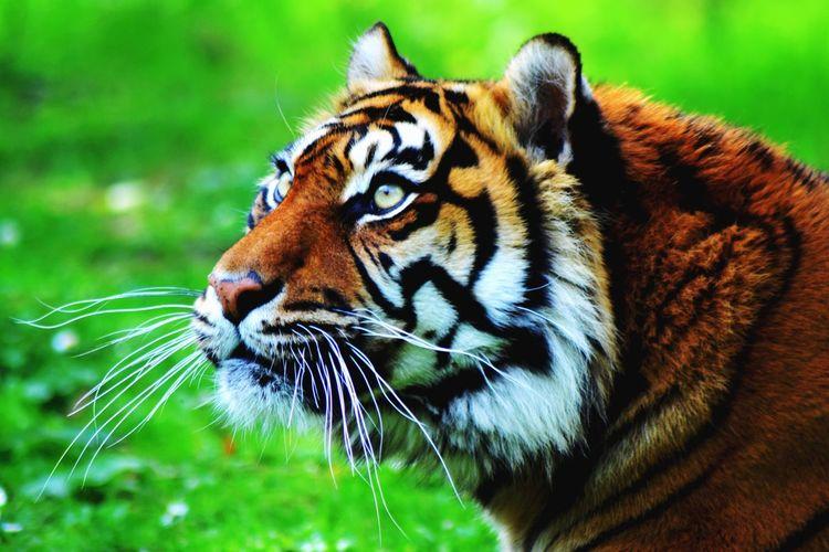 L o o k Tiger