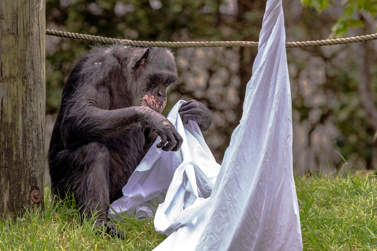 Chimpanzee holding fabric at montgomery zoo