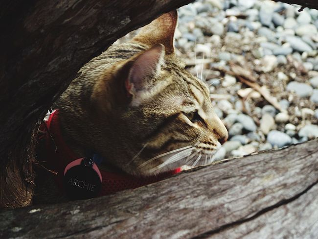 All My Photos Taken With IPhone5 Bengal Cat Archie My Cat Caturday Cat Lovers Cat♡ Cat Cats I Love My Cat