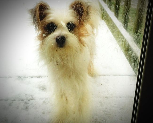 Let Me In! It's Cold Outside Dog My Dog I Love My Dog Papillion Outside Looking In Interior Views
