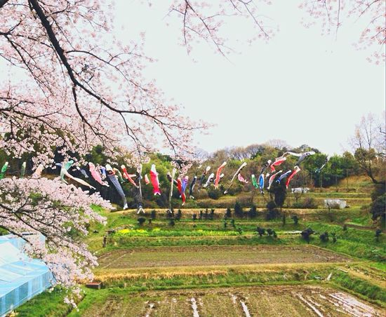 桜と鯉のぼり🎏 Spring2016 Cherry Tree and Koinobori(carp-streamers) DELICIOUS....mmmmm  Breeze Is Nice