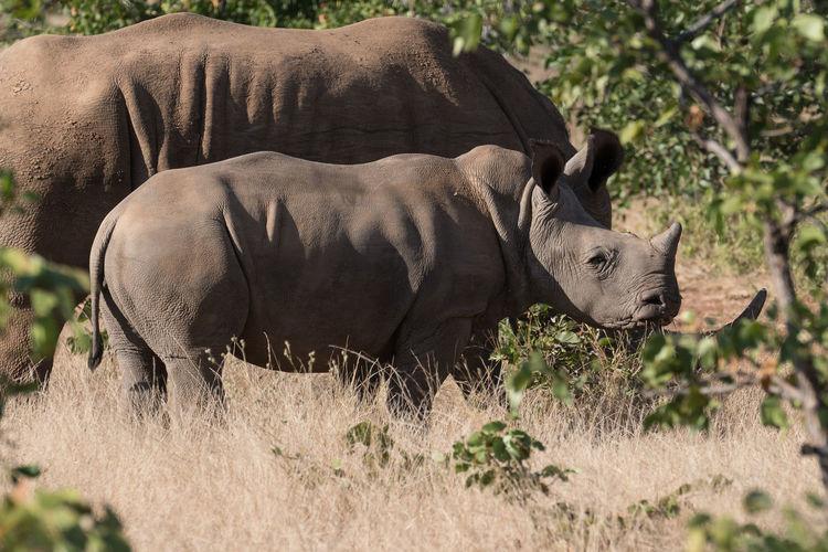 Side view of rhinoceros on field