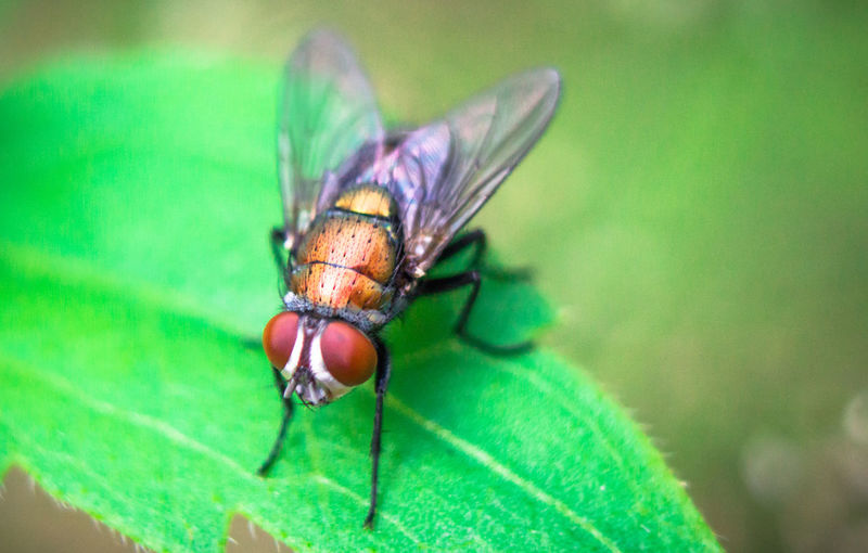 Arthropod Macro Photography Animal Animal Eye Animal Themes Animal Wildlife Animal Wing Animals In The Wild Biology Close-up Day Fly Focus On Foreground Green Color Housefly Insect Invertebrate Macro Nature No People One Animal Plant Part Selective Focus