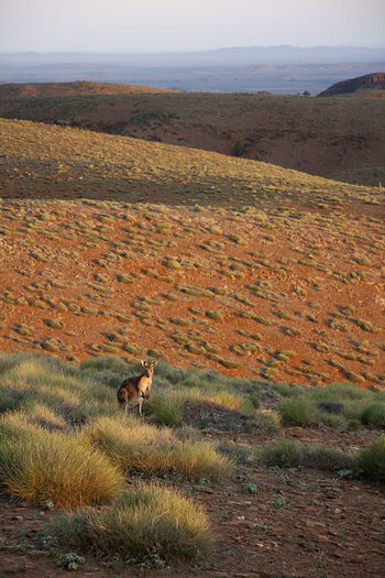Kangaroo on field