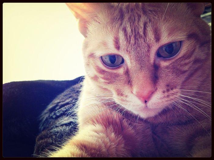 毎日毎日so hot… うちの猫 So Hot Cat