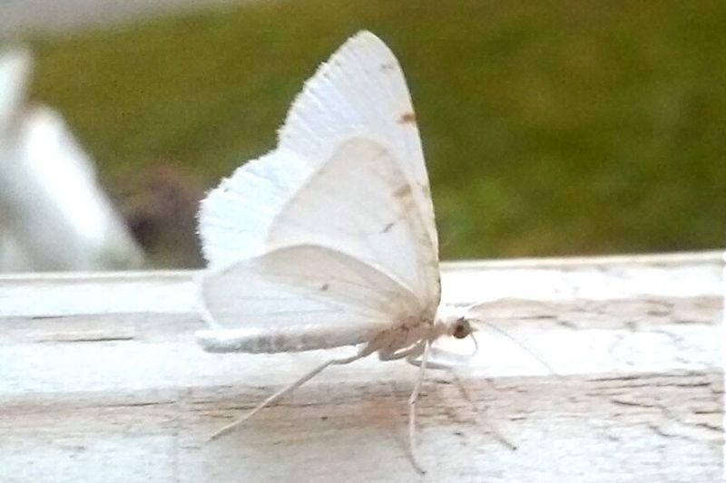 Moth White Moth