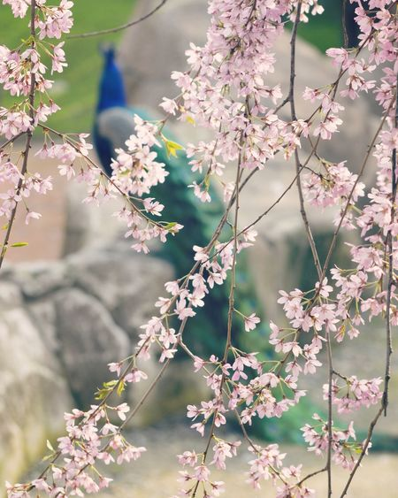 Hanami with elegance Peacock Pink Elégance Hanami Tranquil Scene Nature Wildlife & Nature Flower Tree Flower Head Branch Leaf Beauty Pastel Colored Springtime Blossom Close-up Cherry Blossom Cherry Tree Flowering Plant Botanical Garden