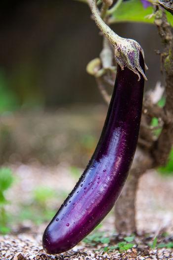 Close-up of purple leaf on field
