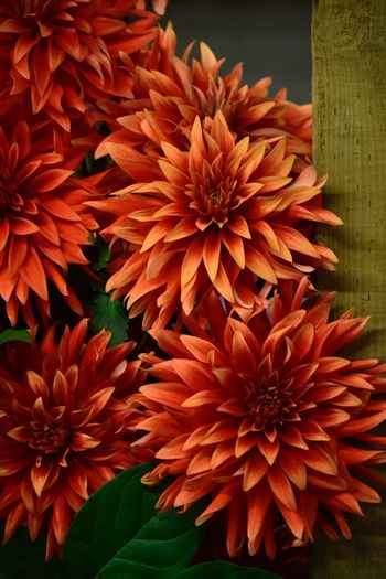 Dahlia Dahlia Flowers Dahlia Flower Background Backgrounds Flowering Plant Flower Fragility Vulnerability  Plant Petal Freshness Growth Flower Head Close-up Beauty In Nature Inflorescence Nature No People Orange Color Day Red Outdoors Dahlia Backgrounds
