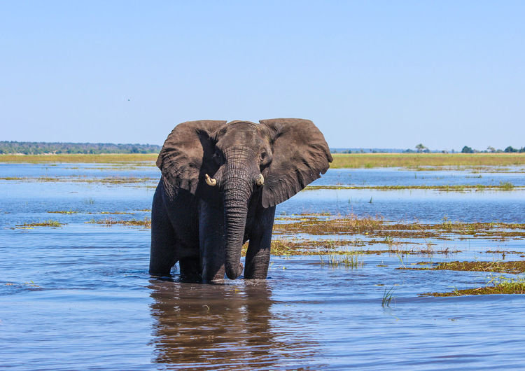 African elephant in lake against clear blue sky