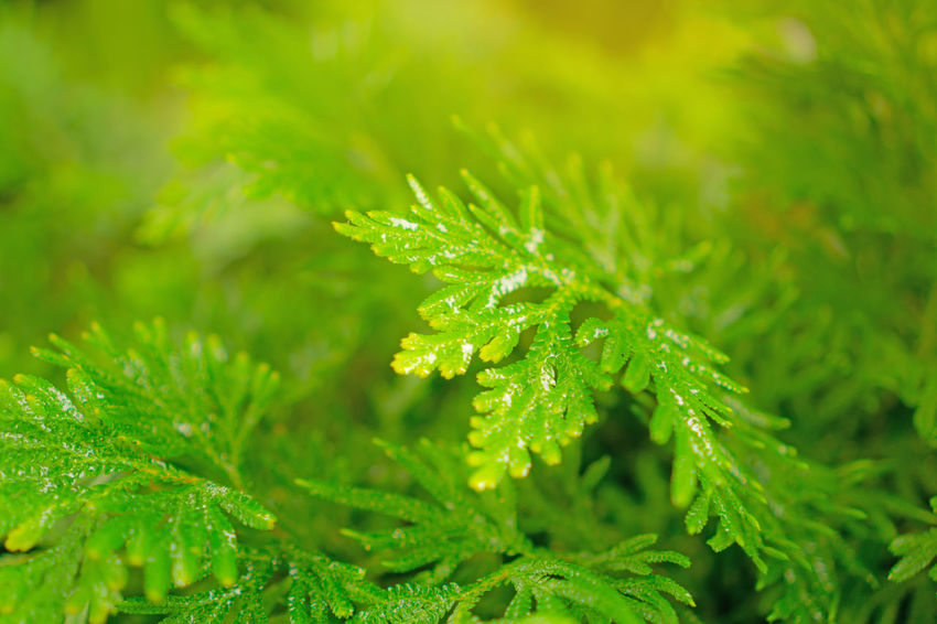Fresh pretty petite green leaves of Spike Moss with water droplets on blurred background , closeup photo Spike Moss Selaginella Green Color Plant Growth Beauty In Nature Leaf Close-up Freshness Tranquility Water Leaves Herb Dew Gardening Landscaping Care Botany Botanical Rain Spring Nature Greenery Herb Mainternance