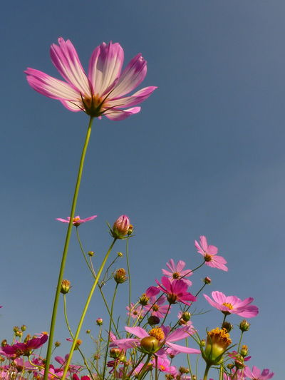 Cosmos Cosmos Cosmos Flower Cosmos Flower Autumn Cosmos Flower Summer Beauty In Nature Blooming Blossom Clear Sky Close-up Cosmos Flower Cosmos Flowers Cosmos In My Garden Cosmosflower Day Flower Flower Head Fragility Freshness Growth Low Angle View Nature No People Outdoors Petal Pink Pink Color Plant Sky