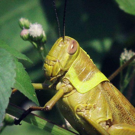Haiii..nice to meet you..Greeting Grasshover Belalang Bugs_are_us_ bugs_are_us insect_perfection insect macro macrophotography allnatureshot alalamiya_macro tgif_macro macroworld_tr