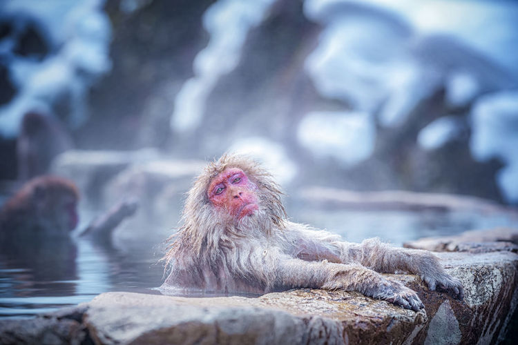 Monkey in hot spring