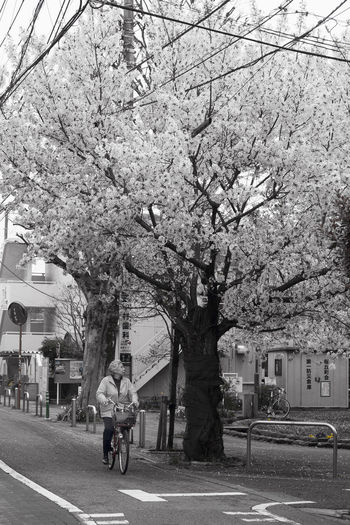 Adult Adults Only Architecture Bicycle Blossom Branch Cherry Blossoms City Day Everyday Life Lady On A Bicycle Nature One Person Only Women Outdoors People Real People Sakura Sakura Tree Springtime Streets Of Japan Tokyo Street Photography Tree Tree 桜 EyeEm Selects Adventures In The City