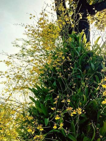 Orchid Orchid Flower Orchid On Tree Orchids Collection Flower On The Tree Flower Collection Yellow Orchid Yellow Flower Flower Ornamental Plant Plant On Tree Orchid Photography Flower Photography Nature Beauty Of Nature Beauty Of Flower Beautiful Flower Orchid Collection Flower Color Orchid Colours Tree Tree Photography Beauty Of Tree Low Angle Shot Nature Photography