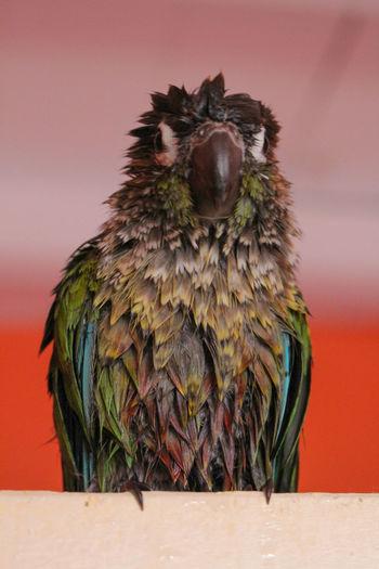 Mon pioupiou tout après sa douche. My little parrot after his shower. Bird Parrot Wet Conure Green Cheek Conure Funny