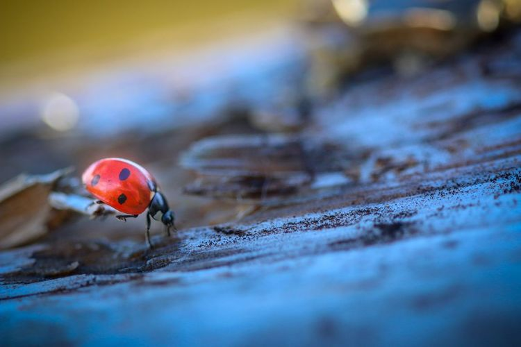 🐞 Bokeh Insect Photography Ladybird Ladybug Macro Photography Sverige Canon Canon 70d Canon 100mm Nature Invertebrate One Animal Insect Animal Wildlife Animal Themes Close-up Selective Focus