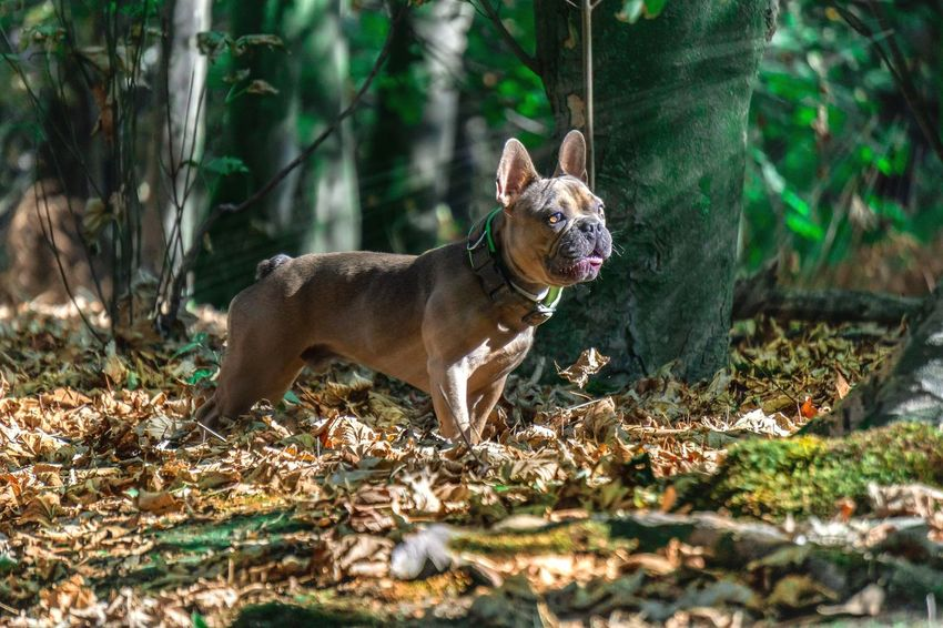 Französische Bulldogge  Hundefotografie Hunde Tierfotografie Dogs Of EyeEm EyeEm Selects EyEmselect Hundeportrait Düsseldorf Dogs Life #hundefoto Abandoned Places Butsosexy Dogs Pets Dog Portrait Full Length Animal Themes