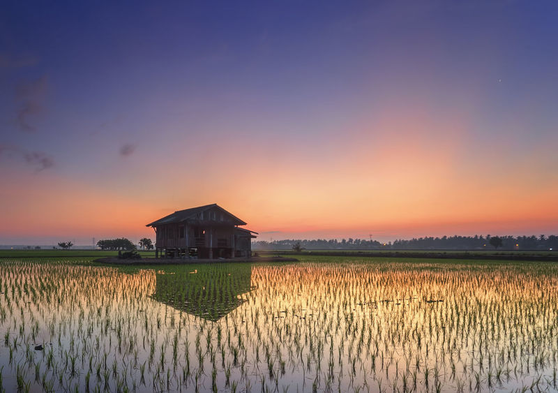 Agriculture Beauty In Nature Cereal Plant Crop  Cultivated Farm Field Freshness Growth Harvesting In Front Of Landscape Malaysia Nature Plant Plantation Planting Rice Paddy Rural Scene Scenics Sekinchan, Malaysia Sunset Tranquil Scene Tranquility Vineyard