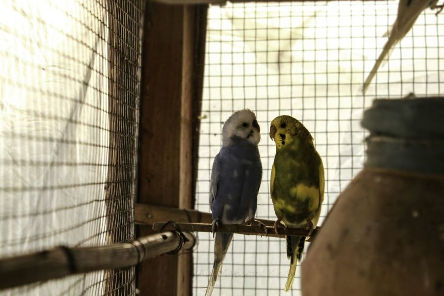 Parrots Birds Cages Caged Freedom Cagedwings Colors Friendship Multan Okara Pakistan