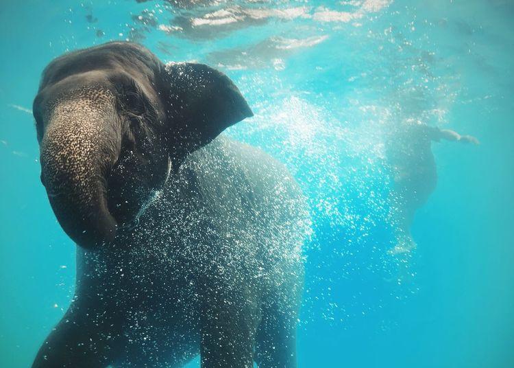 Elephant swimming in sea