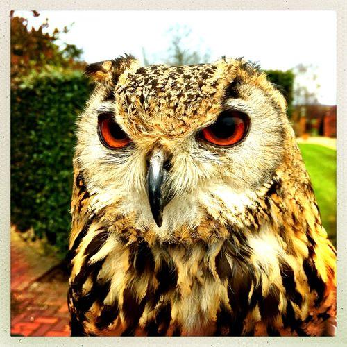 Bengal Owl Owl