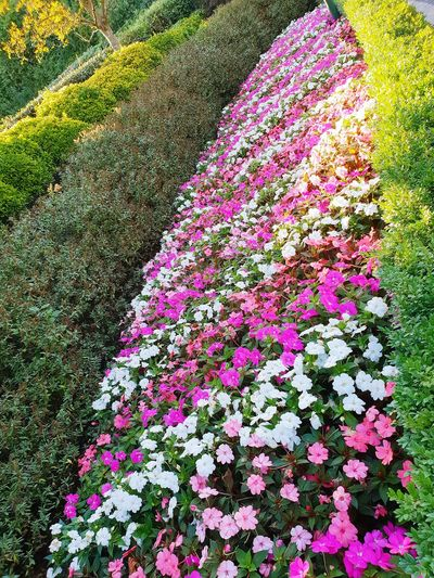 giant flower bed Flowers Pink White Green EyeEm Selects Earth Beautiful Flower High Angle View Backgrounds Grass Close-up Plant Blooming In Bloom Ground LINE