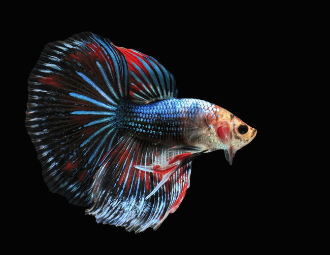Siamese fighting fish, black backdrop, betta splendens, betta fish, halfmoon betta.
