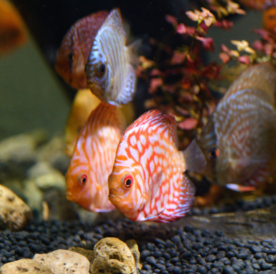 Beautiful discus fish raised in an aquarium with flashy colors, cute, suitable for people